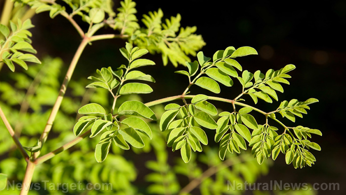 Diet for diabetes: Consume more moringa!