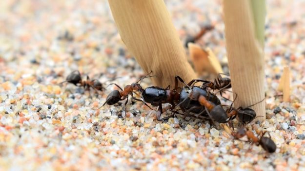 Ant Brains Grow Proportionally to Communal Responsibilities