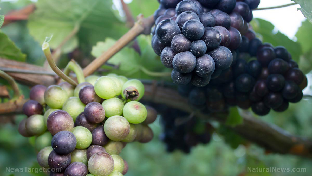 """Grapes have long been hailed as the """"food of the goods"""" … they contain powerful antioxidants that protect your health"""