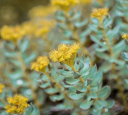 Bioactive compound from the Rhodiola plant improves memory