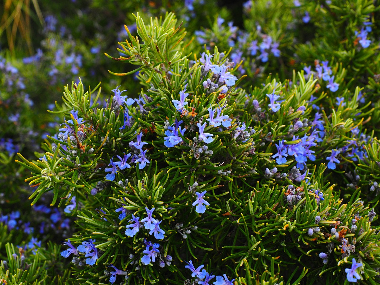 One of the most esteemed herbs in the culinary world, rosemary is also a powerhouse in traditional medicine