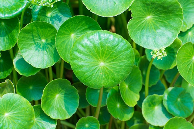 The healing benefits of gotu kola and its effects on your brain and emotional health