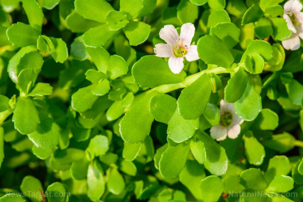 Bacopa is a little-known herb that can improve memory and brain health