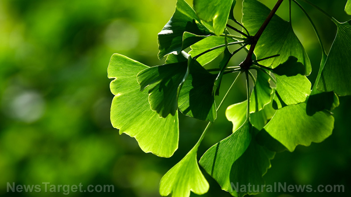 Herbal supplement gingko biloba found to prevent cell death in the brain, improve recovery from stroke