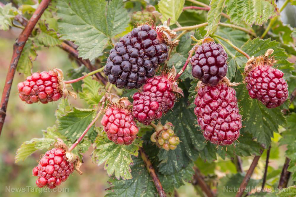 6 health benefits of boysenberries