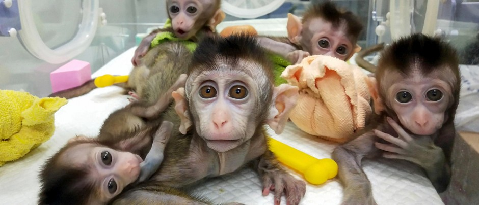 Monkeys with human brain genes: has it crossed an ethical line?