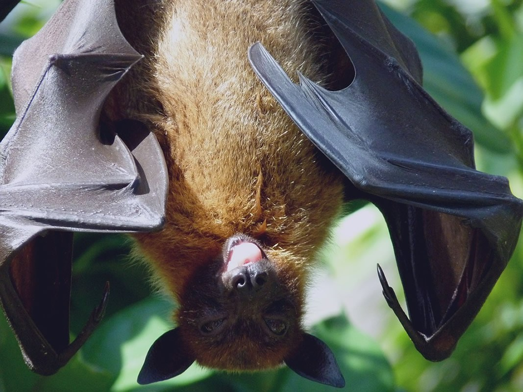 Bats' brains sync when they socialize