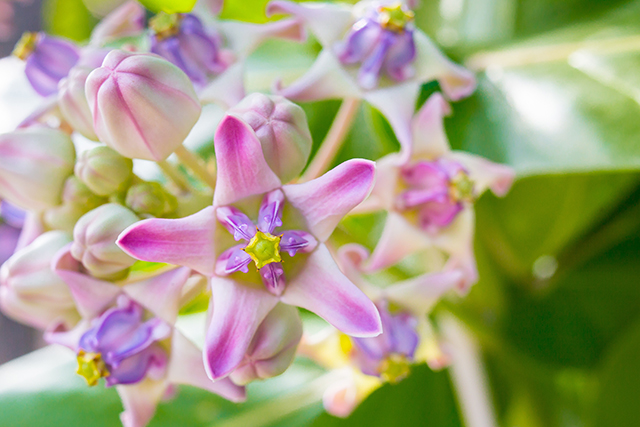 Calotropis gigantea promotes the formation of synapses and neurites in the hippocampus