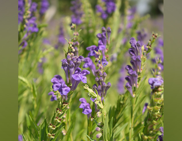 Baicalein from Chinese skullcap found to protect the brain against glutamate excitotoxicity