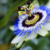Passion Flower for Anxiety, Sleep + Benefits & Side Effects