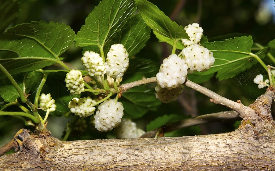 13 Benefits of White Mulberry (Morus Alba)