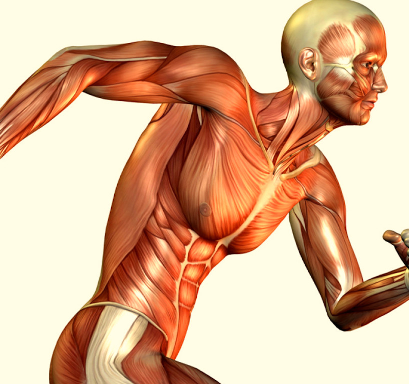 Skeletal Muscle: The Forgotten Part of the Immune System, By Mukaila Kareem