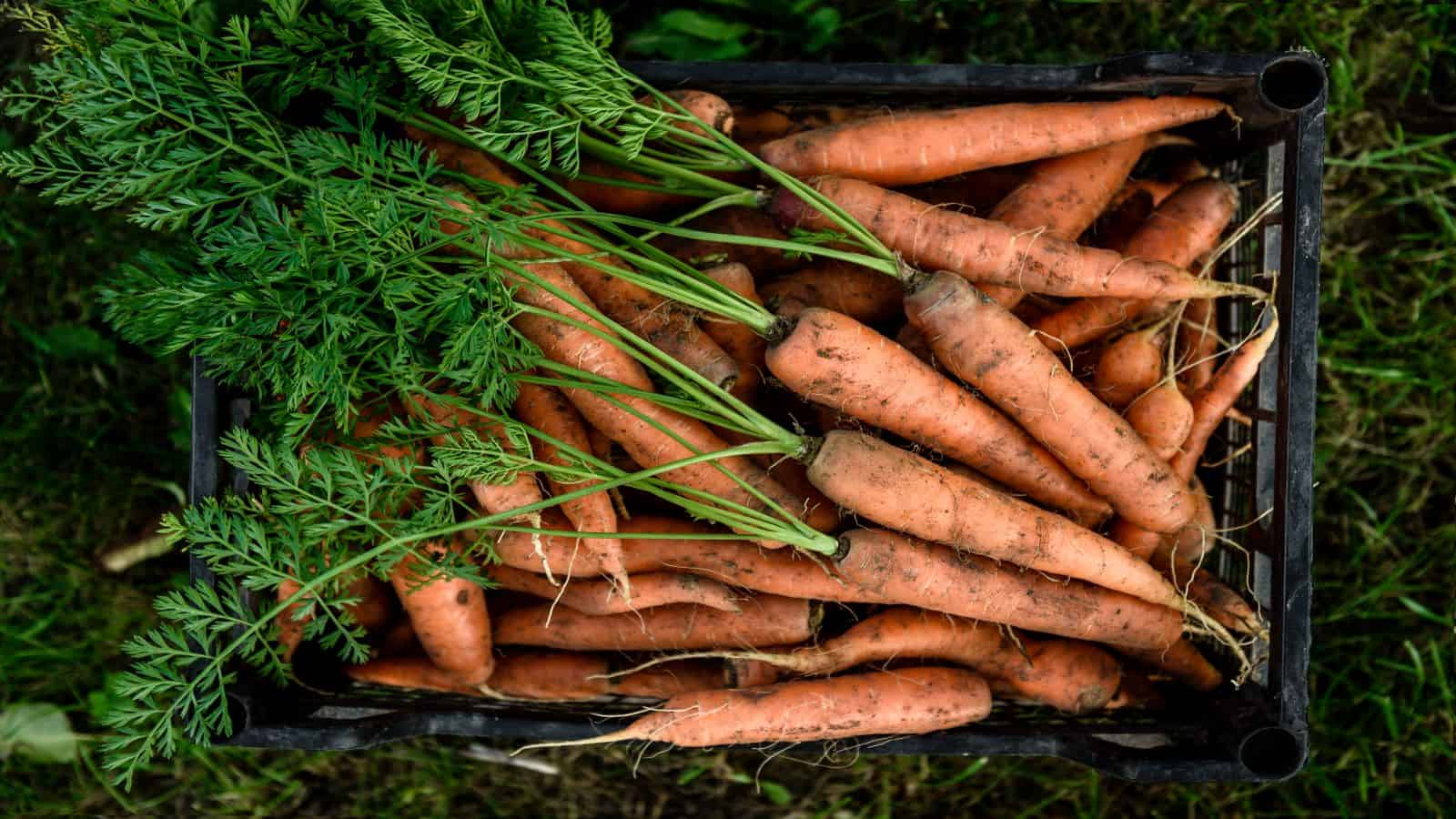 15 Amazing Benefits of Carrots (and carrot greens)