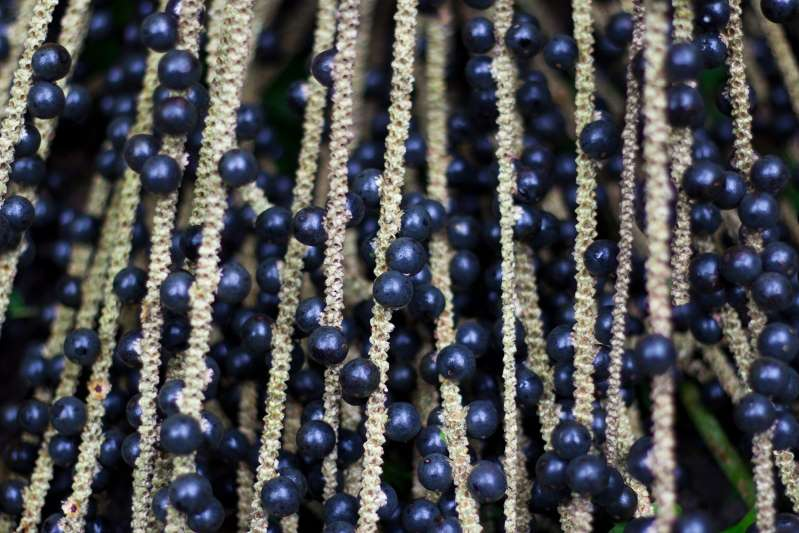 Should You Eat Acai Berries? Here Are the Health Benefits