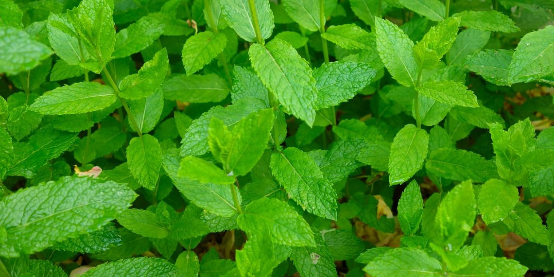 Read about the abundant health benefits of mint leaves; here's why you should eat them everyday